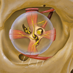 The inferolateral oblique muscle originates from the orbital surface of the maxilla and inserts on the inferolateral globe (white arrows). Illustration by Patrick J. Lynch, medical illustrator / CC BY (https://creativecommons.org/licenses/by/2.5) via WikiMedia (https://commons.wikimedia.org/wiki/File:Eye_orbit_anterior.jpg)